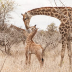 I doubt this giraffe cub is worried about how this might look on the savannah.