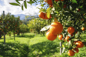 Orange-tree-000024513228_Medium