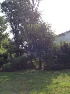 the dead tree in my yard