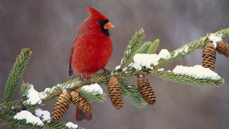 I can hear the birds lynne meredith golodner - Winter cardinal background ...